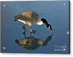 Goose On Ice Acrylic Print