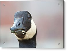 Goose Up-close Acrylic Print