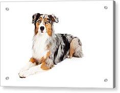 Gorgeous Australian Shepherd Dog Laying Acrylic Print