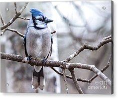 Gorgeous Blue Jay Acrylic Print