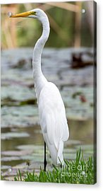 Gorgeous N Tall Great White Egret Acrylic Print by Sabrina L Ryan