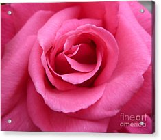 Acrylic Print featuring the photograph Gorgeous Pink Rose by Vicki Spindler
