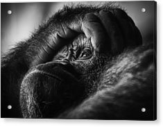 Acrylic Print featuring the photograph Gorilla Portrait by Chris Boulton