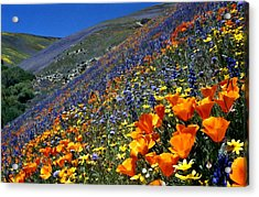 Gorman Flower Field In Full Bloom Acrylic Print by Jetson Nguyen