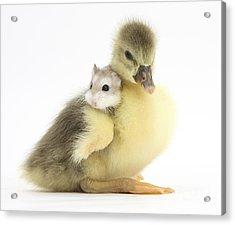 Gosling And Roborovski Hamster Acrylic Print