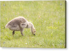 Acrylic Print featuring the photograph Gosling by Jeannette Hunt