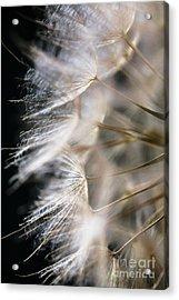 Gossamer Acrylic Print by Jan Bickerton