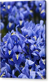 Got The Iris Blues Acrylic Print by Anne Gilbert