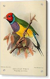 Gouldian Finch Acrylic Print by Rob Dreyer