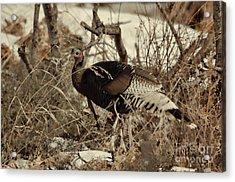 Gould's Wild Turkey Xii Acrylic Print