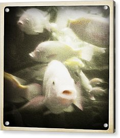Acrylic Print featuring the photograph Gouramis by Bradley R Youngberg
