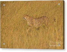 Grace And Elegance Acrylic Print by Ashley Vincent