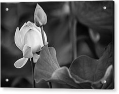 Graceful Lotus. Balck And White. Pamplemousses Botanical Garden. Mauritius Acrylic Print by Jenny Rainbow