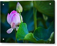 Graceful Lotus. Pamplemousses Botanical Garden. Mauritius Acrylic Print