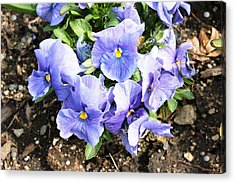 Acrylic Print featuring the photograph Graceful Pansies by Judy Palkimas