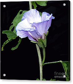 Graceful Purple Hollyhock Acrylic Print
