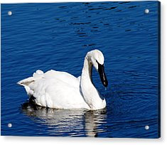 Graceful Swan Acrylic Print by Rebecca Cozart