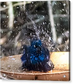 Grackle Bath Acrylic Print