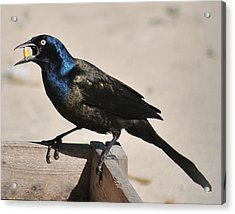 Grackle Chow Down Acrylic Print