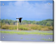 Grackle In Flight Acrylic Print by Bonfire Photography