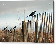 Grackles On A Fence. Acrylic Print