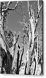 Grand Canyon Trees Acrylic Print