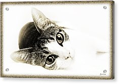 Grand Kitty Cuteness 3 High Key Acrylic Print