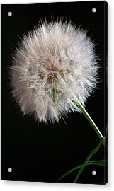 Acrylic Print featuring the photograph Grand Mountain Dandelion by Kevin Bone