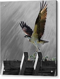 Grand Ole Osprey Acrylic Print