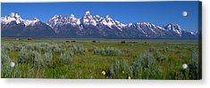 Grand Teton Bison Acrylic Print by Brian Harig