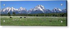 Grand Teton Buffalo Acrylic Print by Brian Harig