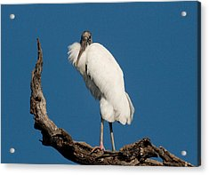 Grandfather Perched Acrylic Print by Linda Olsen