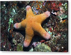 Granulated Seastar Acrylic Print by Science Photo Library