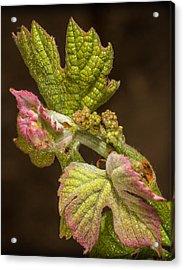 Grape Bud Break Acrylic Print by Len Romanick