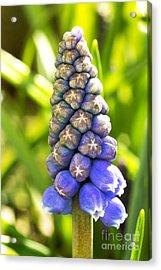 Grape Hyacinth Closeup Acrylic Print by Jane Rix