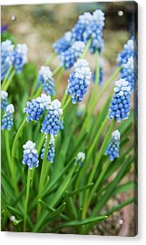 Grape Hyacinth (muscari 'mount Hood') Acrylic Print