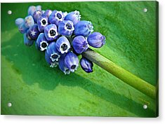 Grape Hyacinth Spike  Acrylic Print by Chris Berry