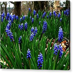 Grape Hyacinths Acrylic Print