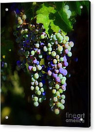 Grape Pre-vino Acrylic Print by Patrick Witz