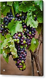 Grape Veraison Acrylic Print by Swift Family