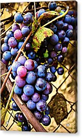 Grape Vines Acrylic Print