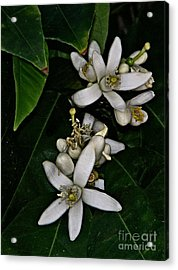 Acrylic Print featuring the photograph Grapefruit Blossoms by Ruth Jolly