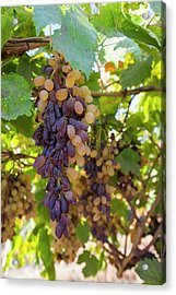 Grapes Growing In Bakersfield Acrylic Print by Ashley Cooper