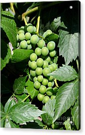 Grapes On The Vine Acrylic Print by Carol Groenen