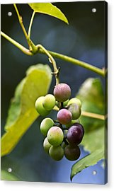 Grapes On The Vine Acrylic Print by Christina Rollo