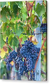 Grapes Ready For Harvest On The Tuscan Acrylic Print by Terry Eggers