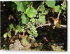 Grapevine. Burgundy. France. Europe Acrylic Print by Bernard Jaubert