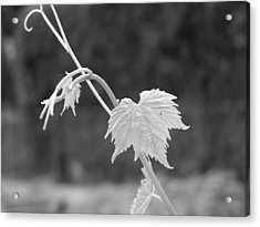 Grapevine  Acrylic Print by Heather L Wright