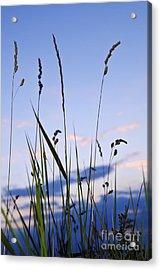 Grass At Sunset Acrylic Print by Elena Elisseeva