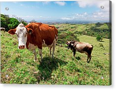 Grass Fed Cattle, Costa Rica Acrylic Print by Susan Degginger